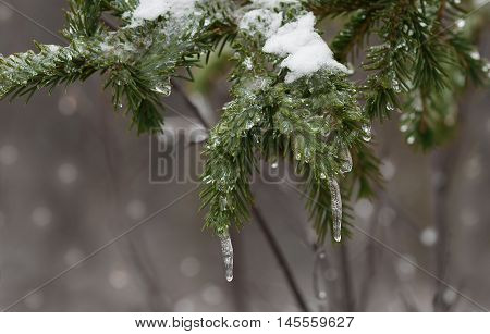 a sprig of fir covered with snow and ice