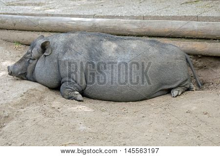 Pot bellied pig lying on ground (ground)