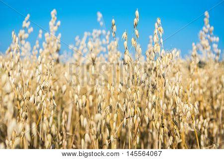 Ripe oats ears in the summer field. Oats growing in a field.