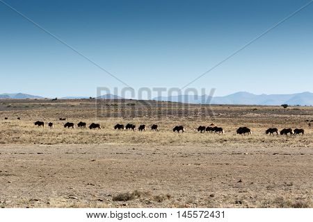 African Buffalo On The Move In The  Mountain Zebra National Park