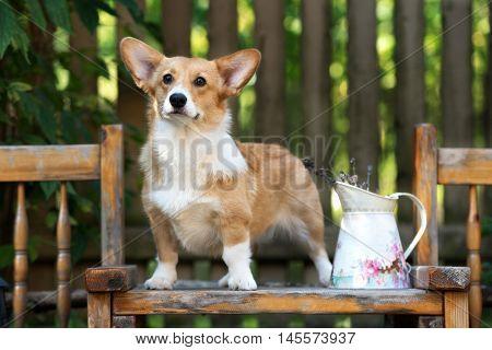 red welsh corgi pembroke dog posing outdoors
