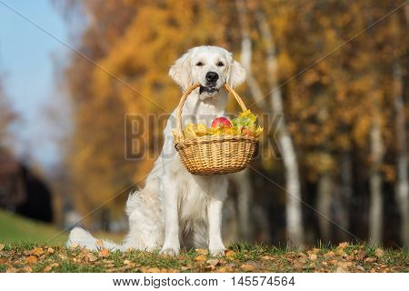 happy golden retriever dog holding a basket with fruits in autumn