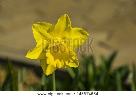 The first signs of Spring, yellow daffodil flower, photography taken ia March 2016