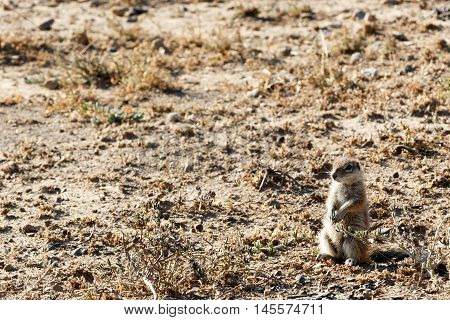 Ground Squirrel Yes Sir - Mountain Zebra National Park