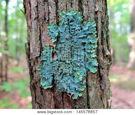 Rough speckled shield lichen (Punctelia rudecta) with blue-green foliose thallus, isidia, and punctate pseudocyphellae growing on forest tree trunk bark in the woods of Upstate New York.