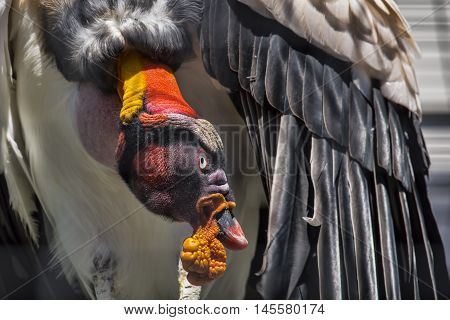 A close up of a King Vulture e after the Bird of Prey show at African Lion Safari in Cambridge Ontario.