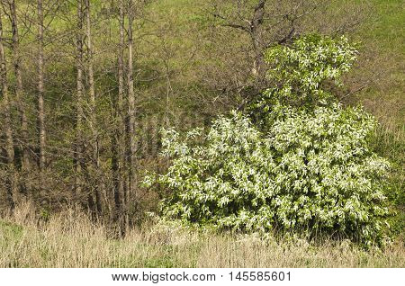 Spring bird cherry tree growing lonely, the background trees