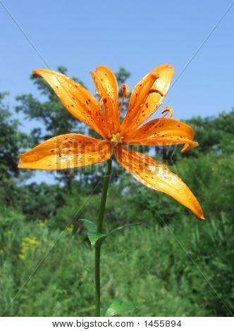 Lily (Lilium Distichum) 1