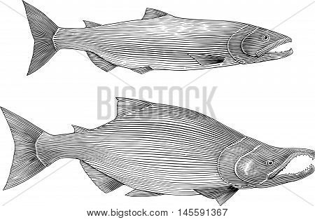Black and white vector illustration of sockeye salmon