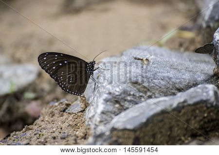 Beautiful Butterfly on rock in nature (Tropical forest)