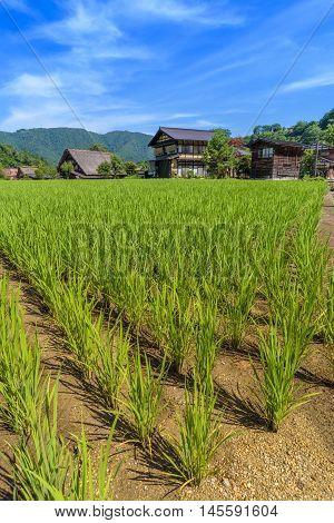 Paddy field in Shirakawa-go village in Japan