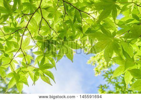 Fresh green maple leaves in daylight (summer scene)