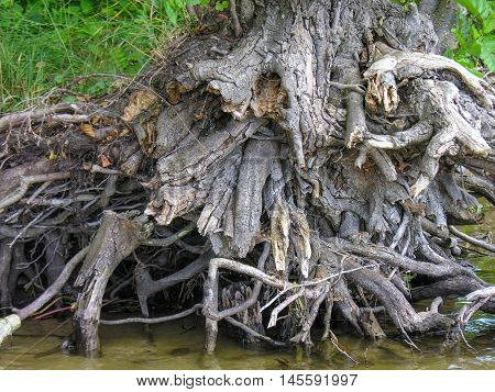Dry stump with intricately intertwined roots at the water's edge on the lake and the forest