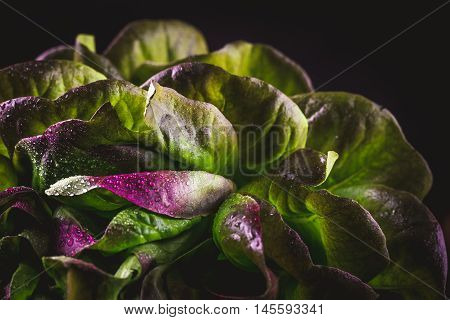 Organic Red Oakleaf lettuce on dark wooden background. Color tone - retro style filtered image. Close up.