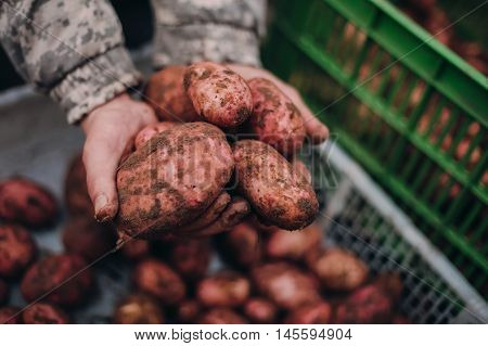 Farmer holding fresh potatoes in dirty hands. Soilwork concept