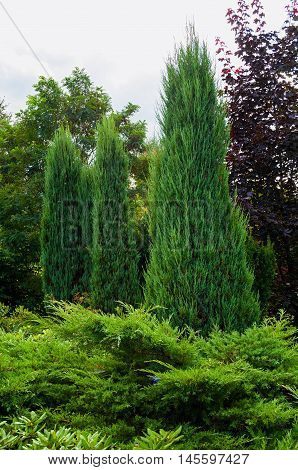 Green long coniferous trees of Thuja - Arbor vitae. Thuja is an evergreen coniferous tree. Thuja trees in the garden.