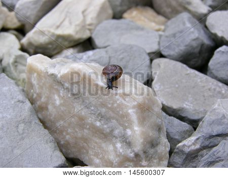 Snail on pebbles slightly leaned out of the shell