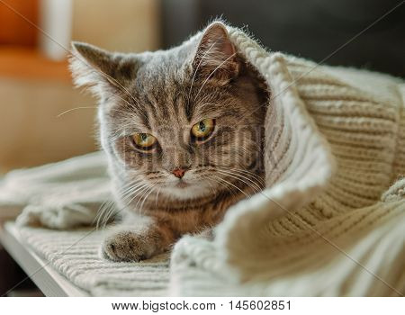 The Scotch Grey Cute Cat is Sitting in the Knitted White Sweater.Animal Fauna