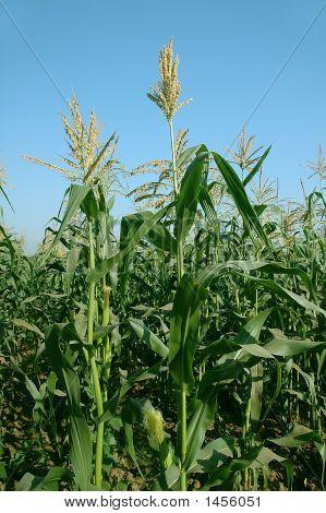 Fresh Corn Plant
