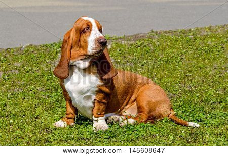 Basset Hound waits.  The Basset Hound is on the grass in the park.