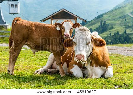 Large view on cow and cowcalf resting on the field