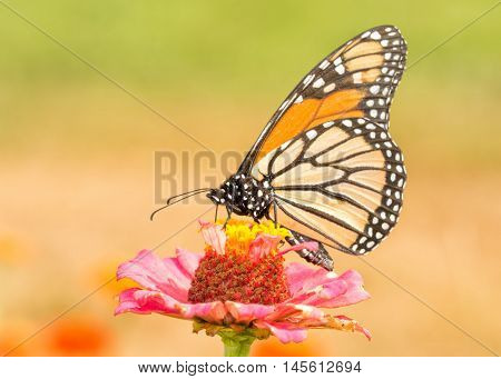 Monarch butterfly pollinating a pink Zinnia flower