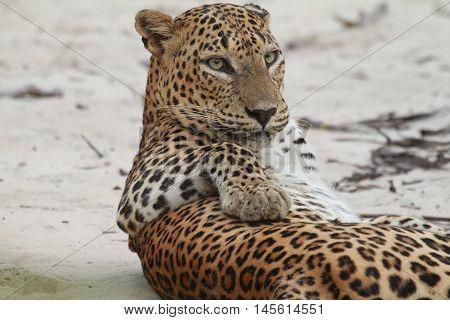 Sri lankan wild tiger in national animal's park