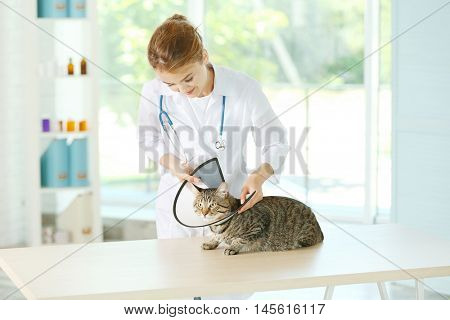 Veterinarian doctor putting cone on cat at vet clinic