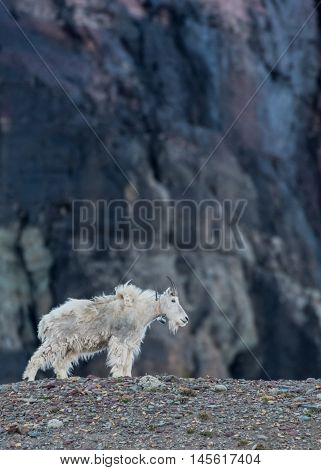 Adult Mountain Goat with Tracking Collar Stands on Rocky Moraine