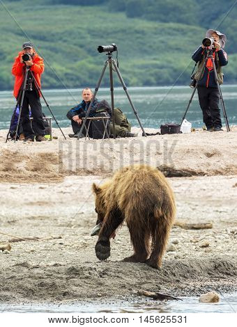 Kamchatka Peninsula, Russia - August 13, 2016: Photographers shoot a brown bear fishing. Kurile Lake in Southern Kamchatka Wildlife Refuge in Russia.