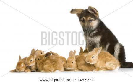 Group Of Bunnies And A German Shepherd