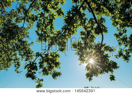 Oak tree branches with summer foliage in sunlight against blue sky with
