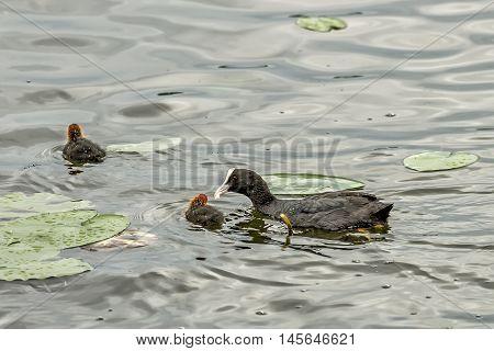 Ducks Nourish Their Children