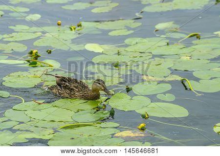Duck Flying