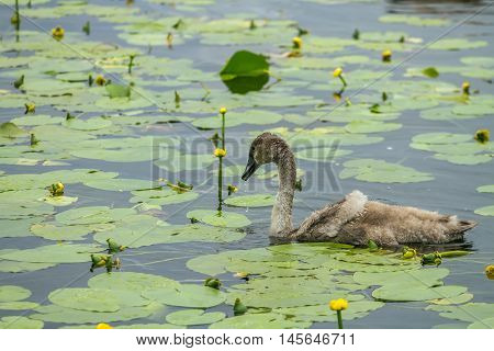 One Duck Flying Among The Lilies