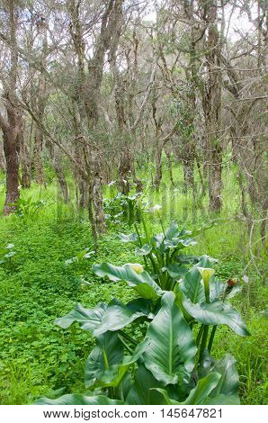 Melaleuca trees and wild calla lilies in a natural woodland in Bibra Lake, Western Australia