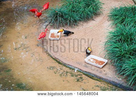 Scarlet Ibis (eudocimus Ruber) At The Bird Park