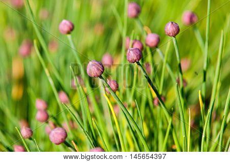 Garlic Flowers