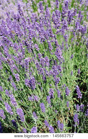 Lavender plant in full bloom England UK Western Europe.
