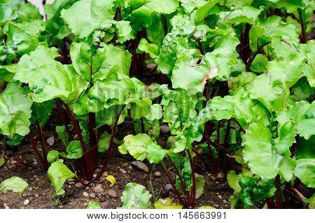 Beetroot plants growing in a vegetable plot England UK Western Europe.