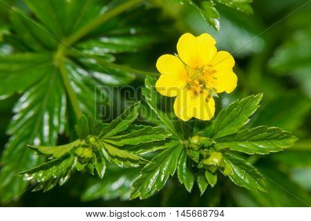 Small yellow flower of Galangal (erect cinquefoil)