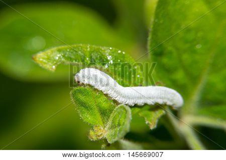 Little white caterpillar eating small green leaf
