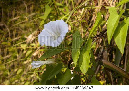 White Calystegia also called Bindweed False Bindweed Morning Glory under the summer sun