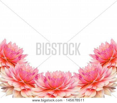 Beautiful pink dahlia isolated on white background.