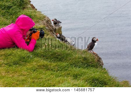 Cute Atlantic Puffin In Iceland