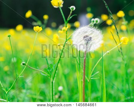 Abstract background of blowball with small blooming yellow flowers around