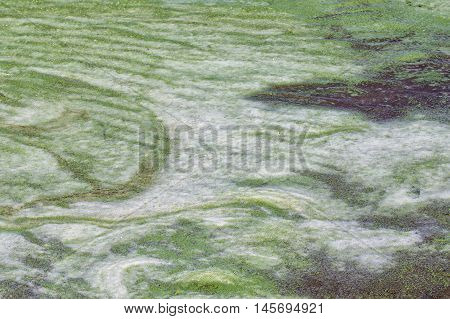 river foam with seaweed on the shore in summer