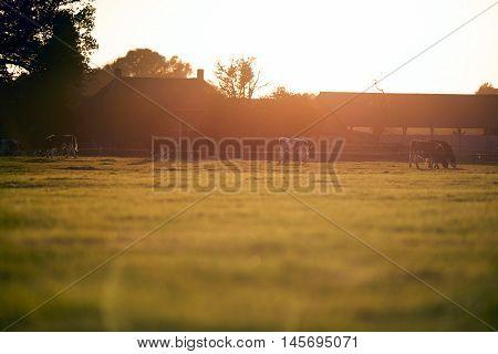 Backlit Grazing Cattle At Old Dutch Farm. Geesteren. Achterhoek. Gelderland. The Netherlands.