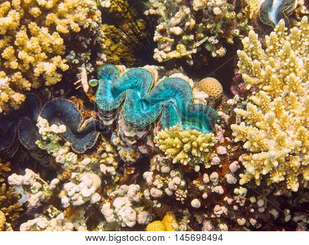 Blue Giant Clam. Marine Life in the Red Sea. Egypt