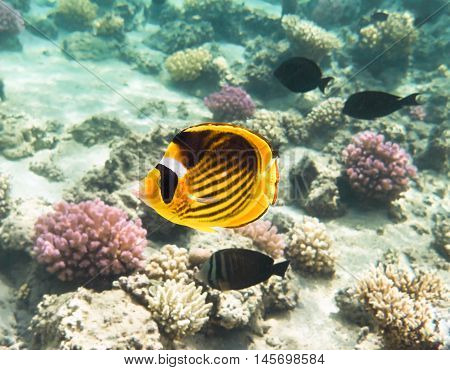 Fish-butterfly. Marine Life in the Red Sea. Egypt